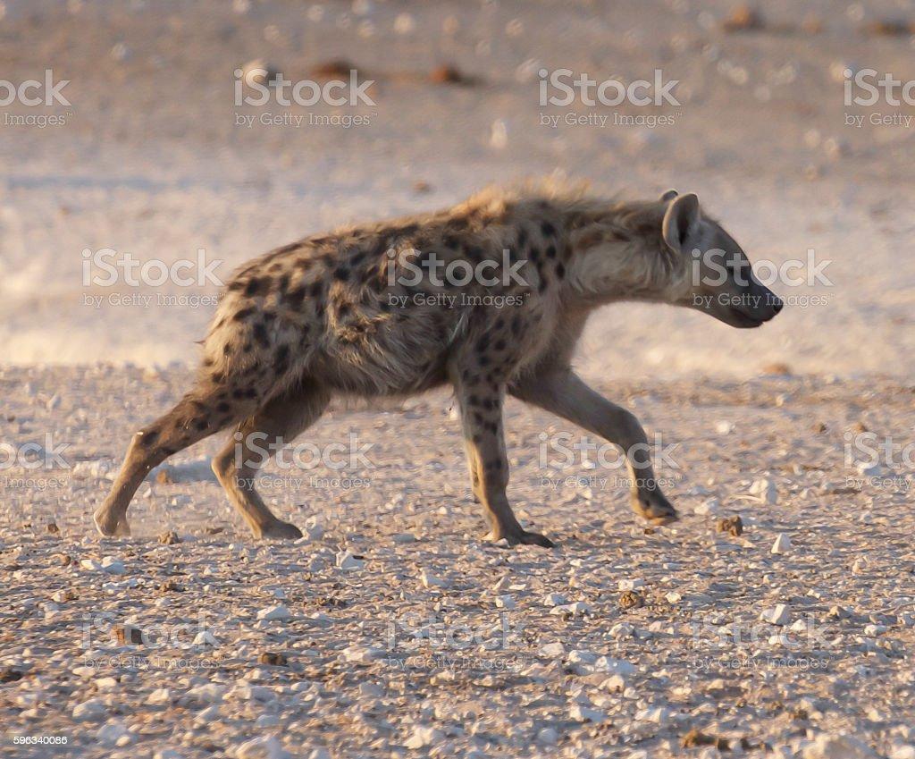 Spotted Hyaena stock photo