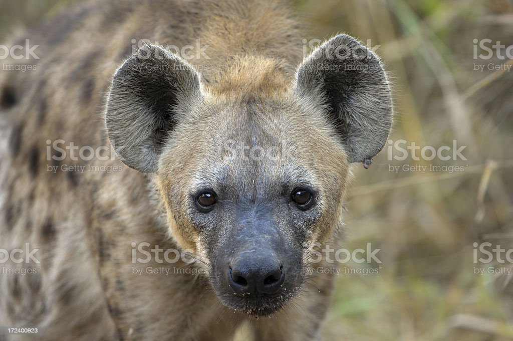 Spotted hyaena watching us stock photo