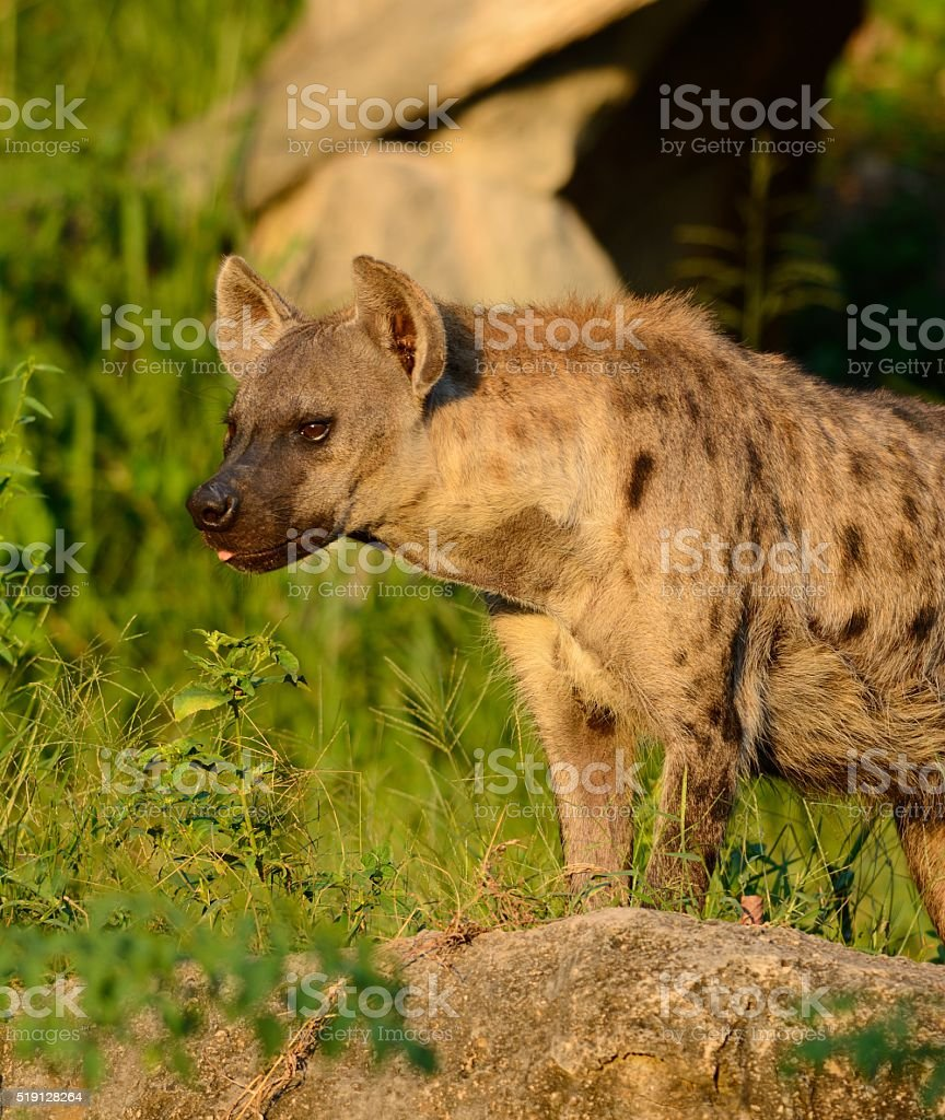 Spotted Hyaenas (Hyaena hyaena) stock photo