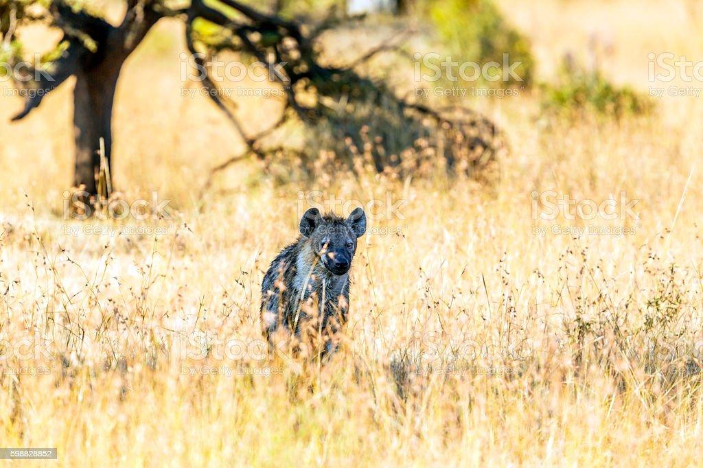 Spotted Hyena at Acacia Tree Shadow stock photo