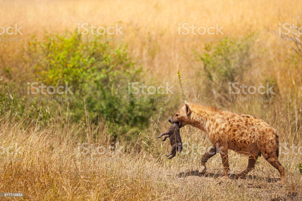 Spotted hyena female picks up her cub by the neck stock photo