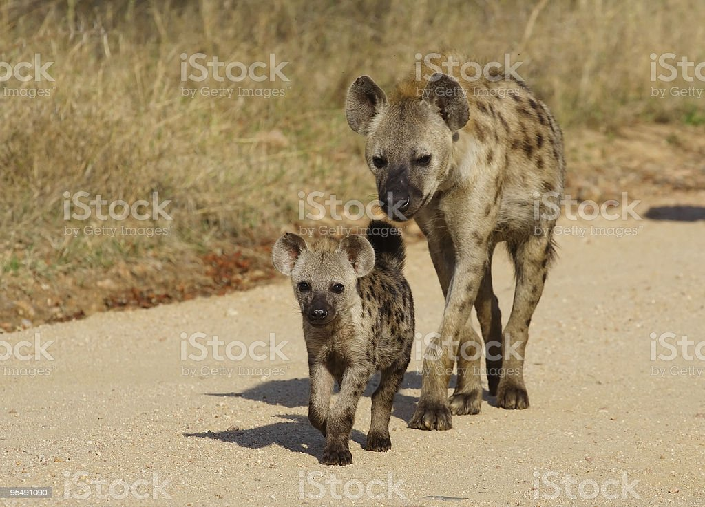 Spotted hyena following cub along sand road stock photo