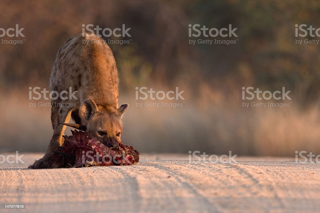 Spotted Hyena in road royalty-free stock photo