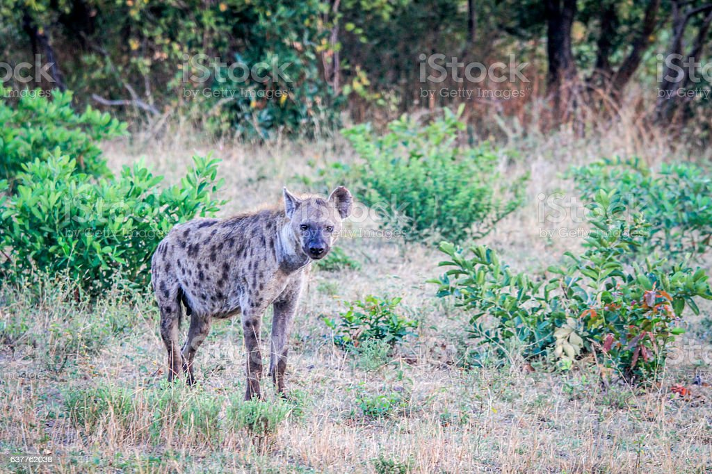 Spotted hyena in the grass. stock photo