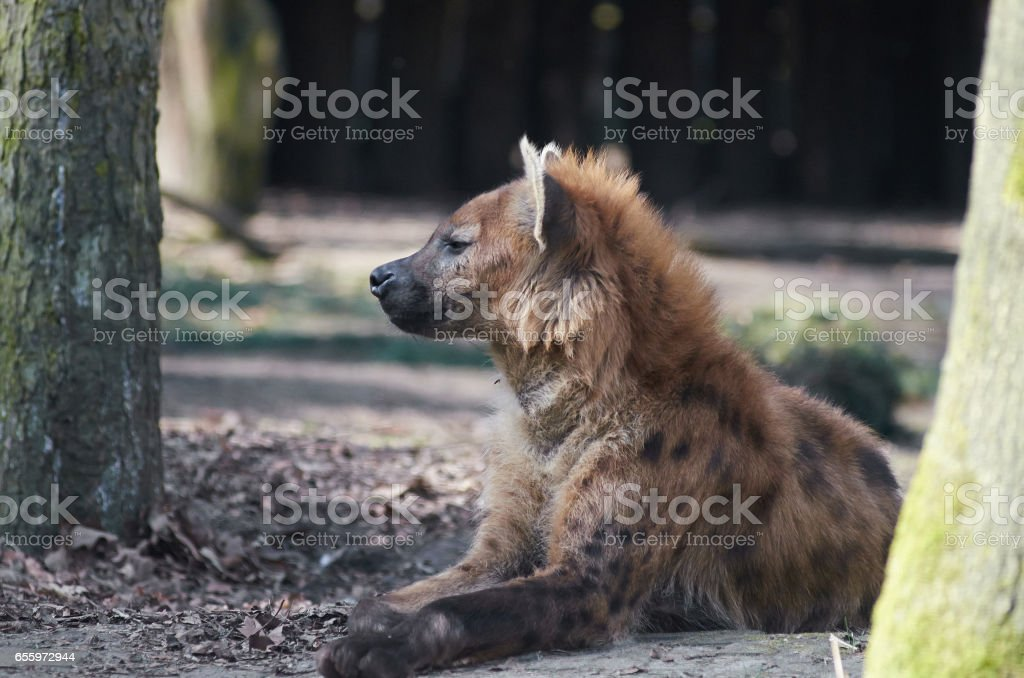 Spotted hyena is in a shadow. stock photo