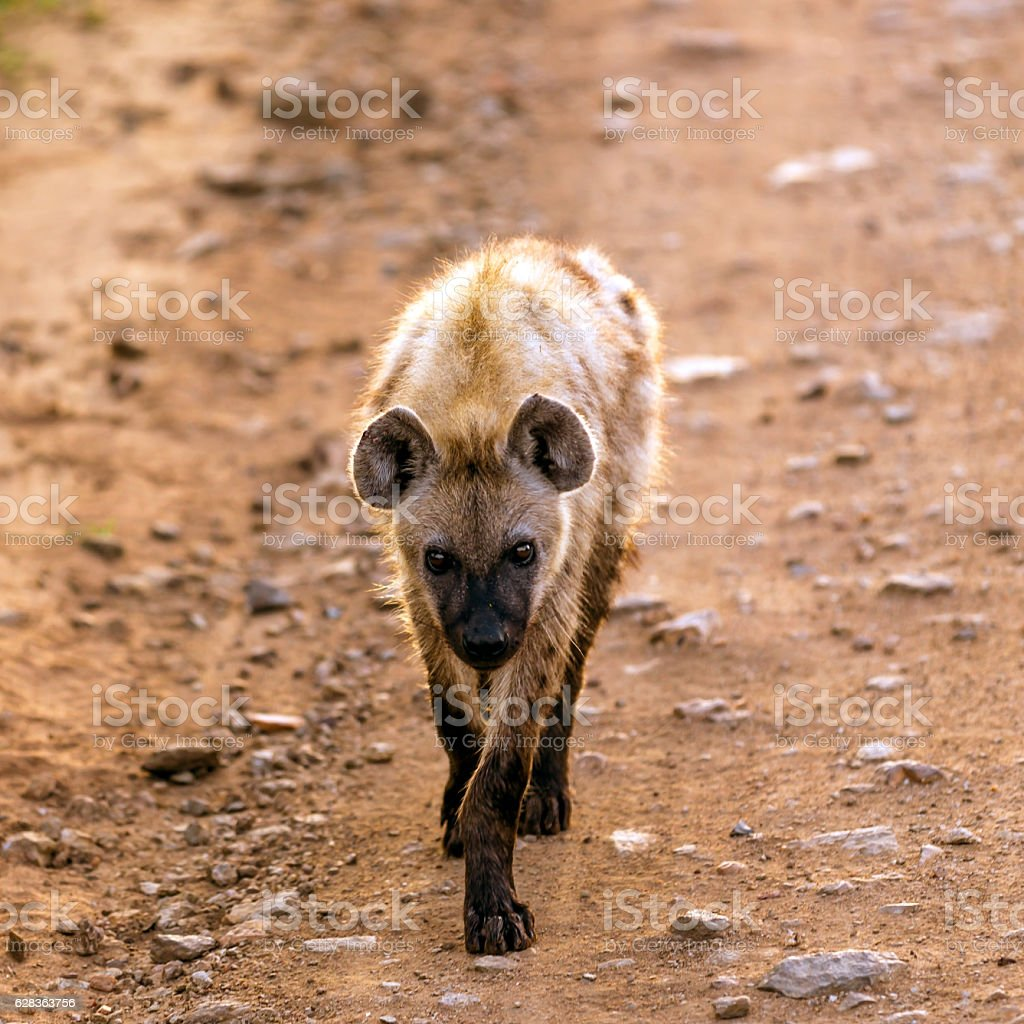 Spotted Hyena on dirt road stock photo