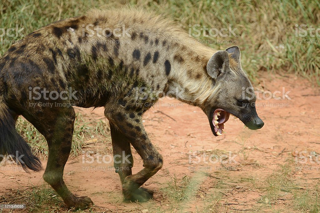 Spotted Hyena open mouth stock photo