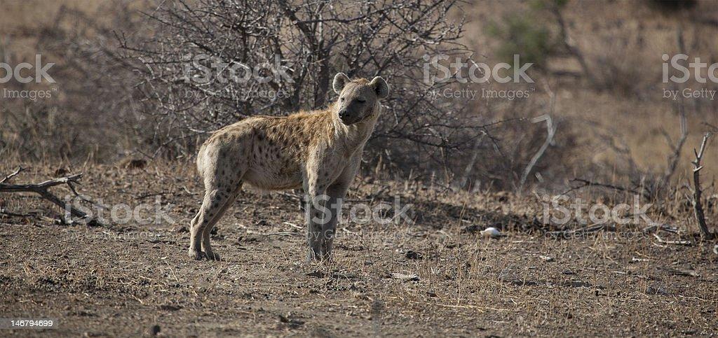 Spotted Hyena stock photo