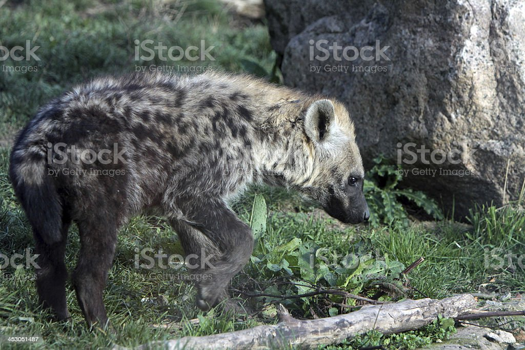 Spotted Hyena (cub) royalty-free stock photo