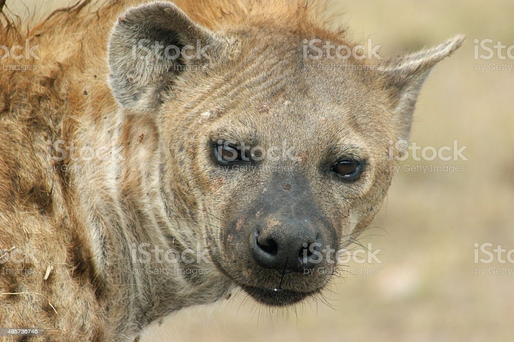 Spotted Hyena stock photo