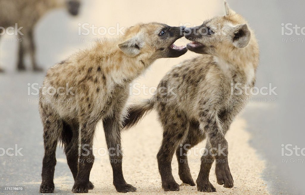 Spotted Hyena Play Fight - South Africa stock photo
