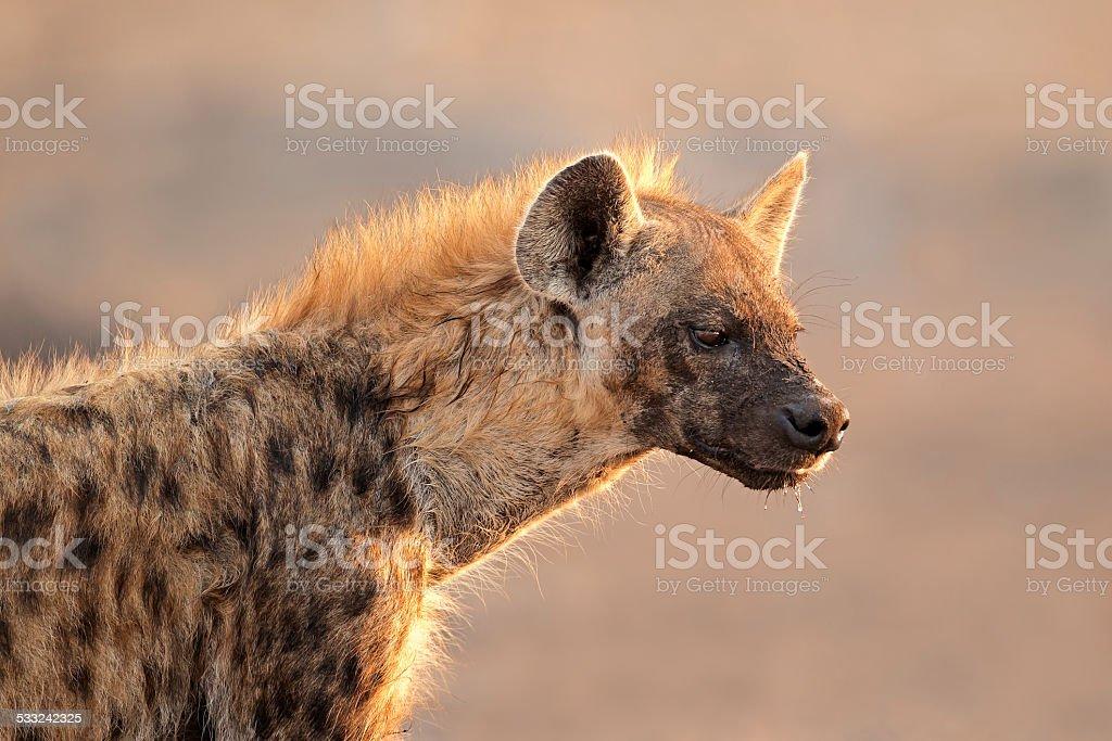 Spotted hyena portrait stock photo
