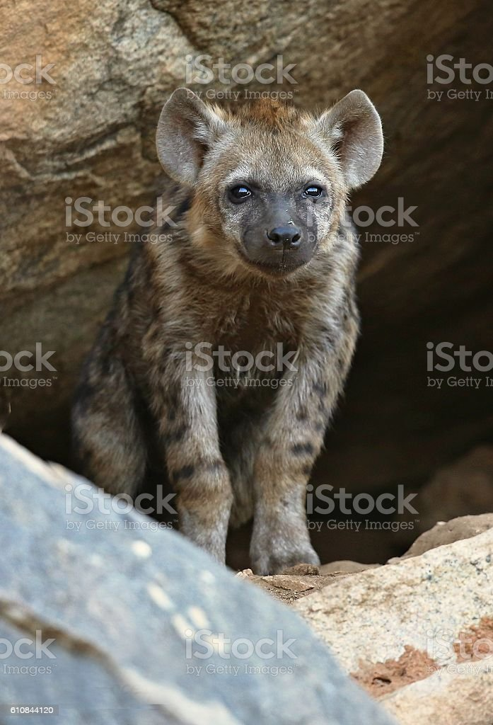 Spotted hyena puppy in the nature habitat stock photo
