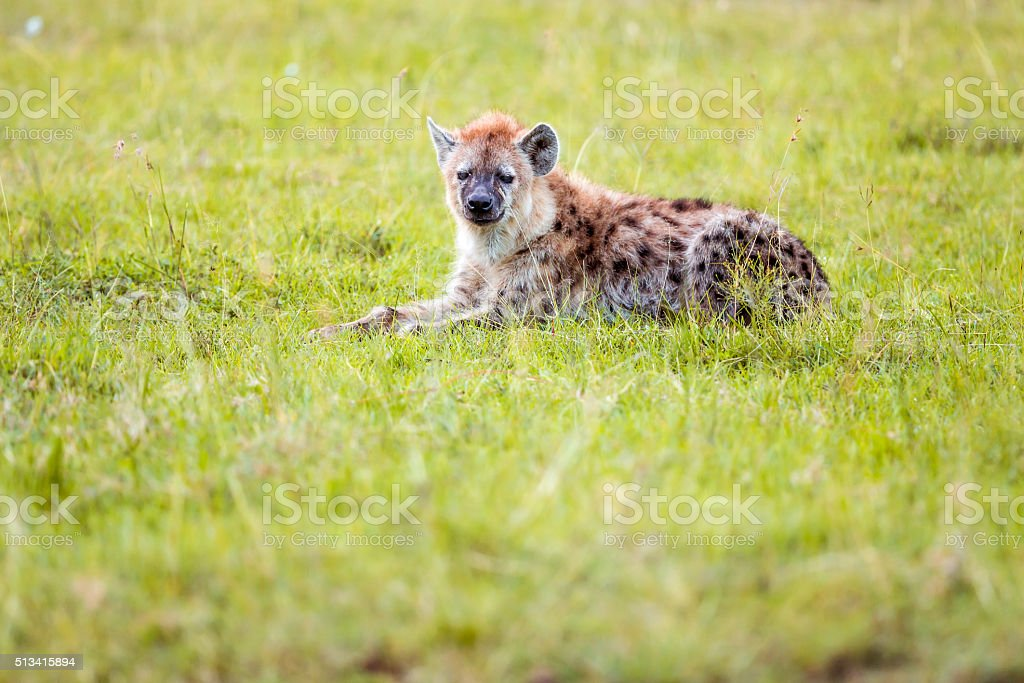 Spotted Hyena - resting stock photo