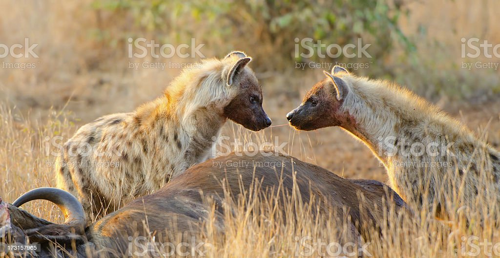 Spotted Hyena Sharing Food -South Africa stock photo