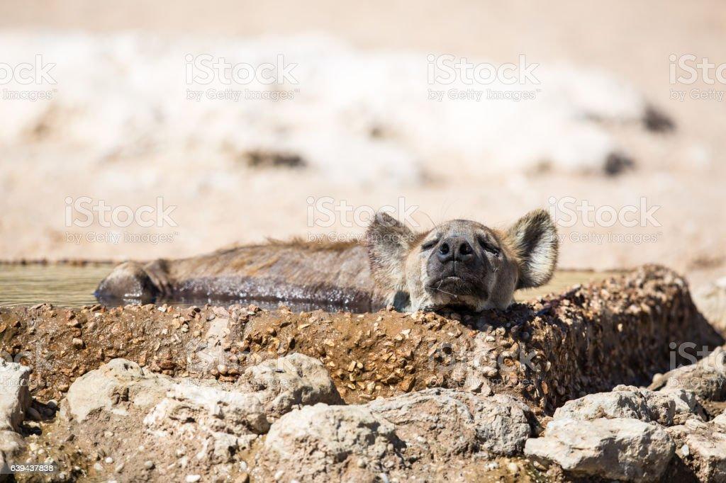 Spotted Hyena sleeping stock photo