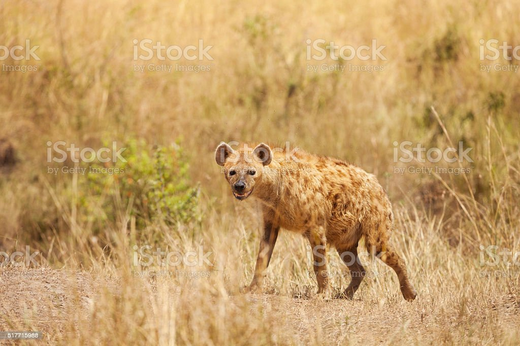 Spotted hyena stands alert in dried grass stock photo