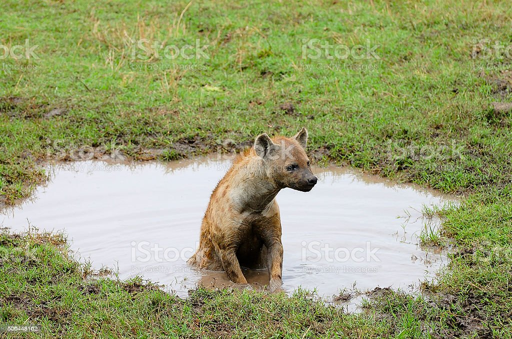 Spotted Hyena Water Pool - Ngorongoro Crater - Tanzania stock photo