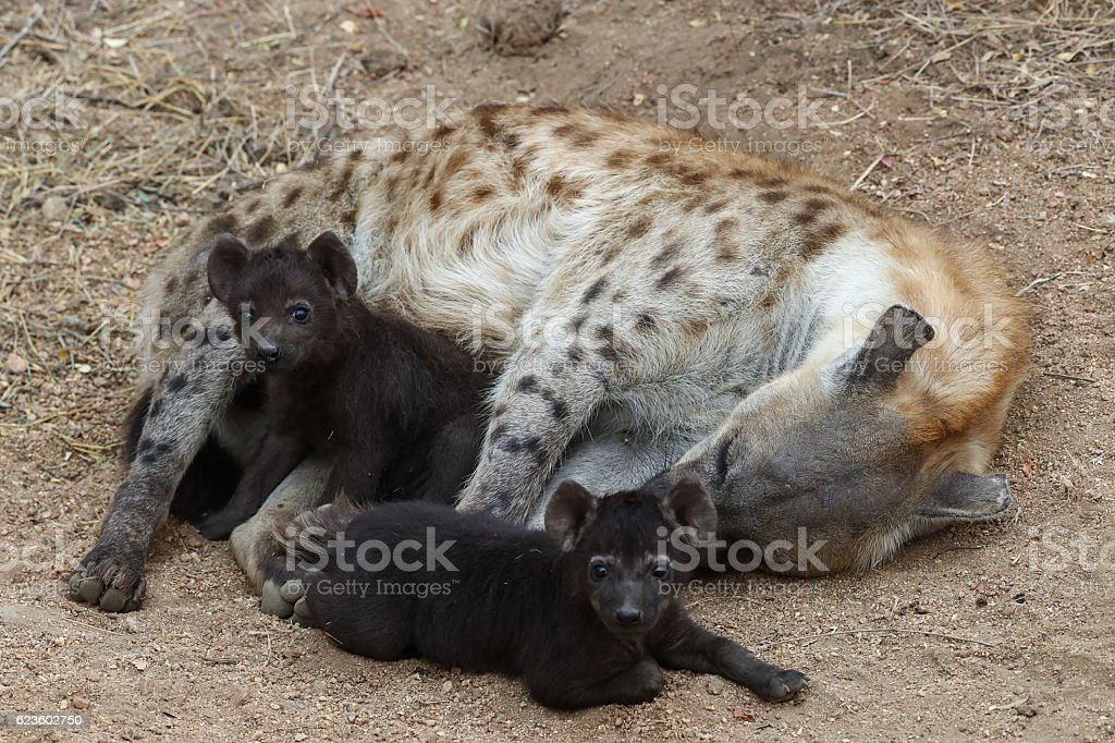 Spotted hyena with cubs stock photo