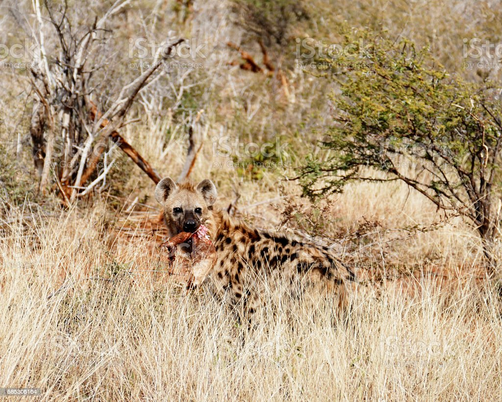 Spotted hyena with prey in bloody mouth, Madikwe,South Africa stock photo