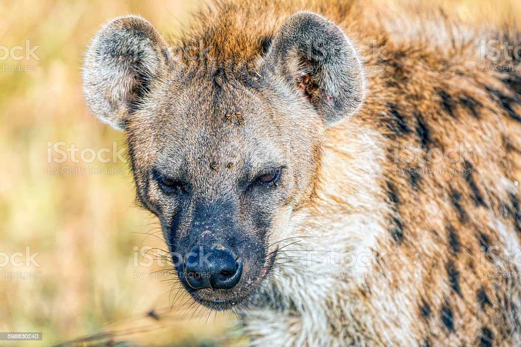 Spotted Hyena with ticks stock photo