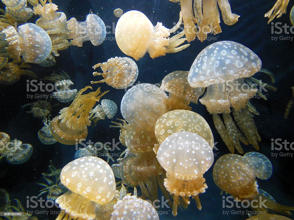 Spotted Jellyfish stock photo
