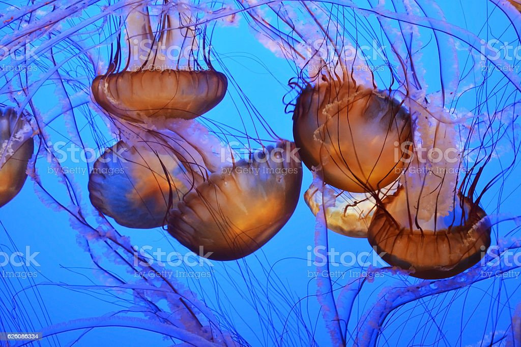 Spotted jellyfishes. Underwater scene stock photo