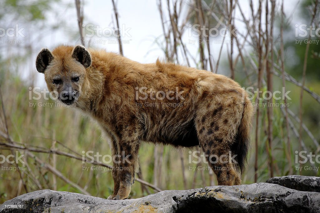 Spotted Laughing  Hyena stock photo
