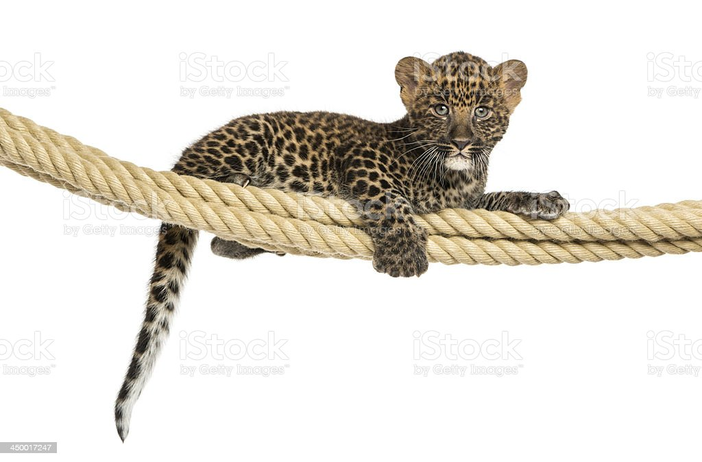 Spotted Leopard cub holding on a rope, isolated royalty-free stock photo