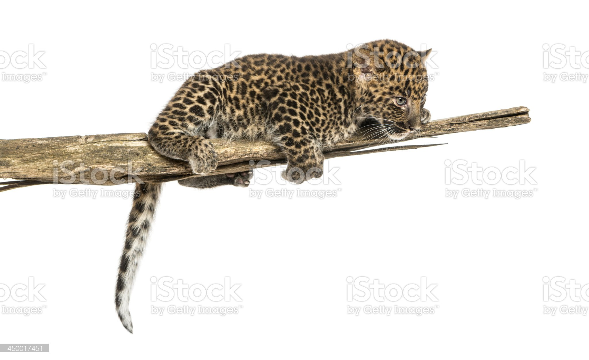 Spotted Leopard cub on a branch looking down, isolated royalty-free stock photo