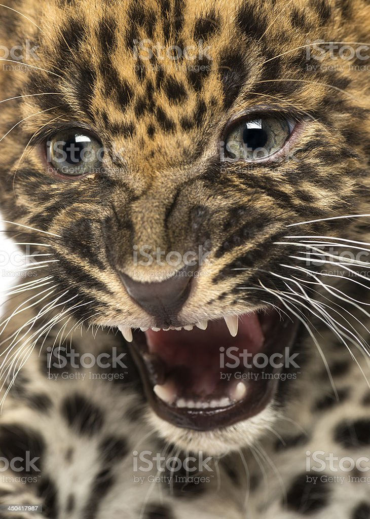 Spotted Leopard cub - Panthera pardus, 7 weeks old royalty-free stock photo