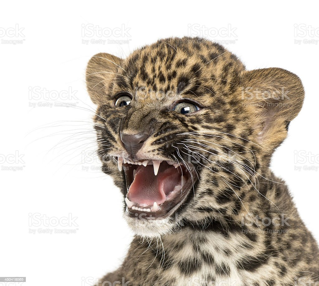 Spotted Leopard cub roaring - Panthera pardus, 7 weeks old royalty-free stock photo
