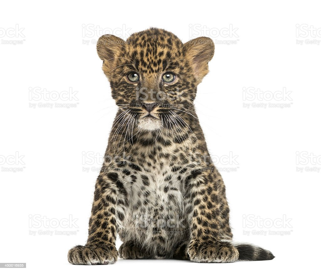 Spotted Leopard cub sitting - Panthera pardus, isolated stock photo