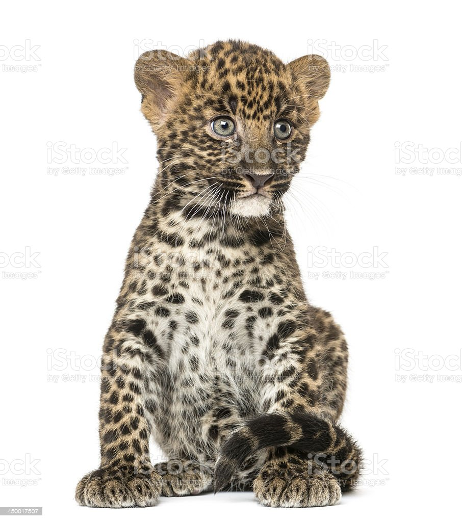 Spotted Leopard cub sitting - Panthera pardus, isolated royalty-free stock photo