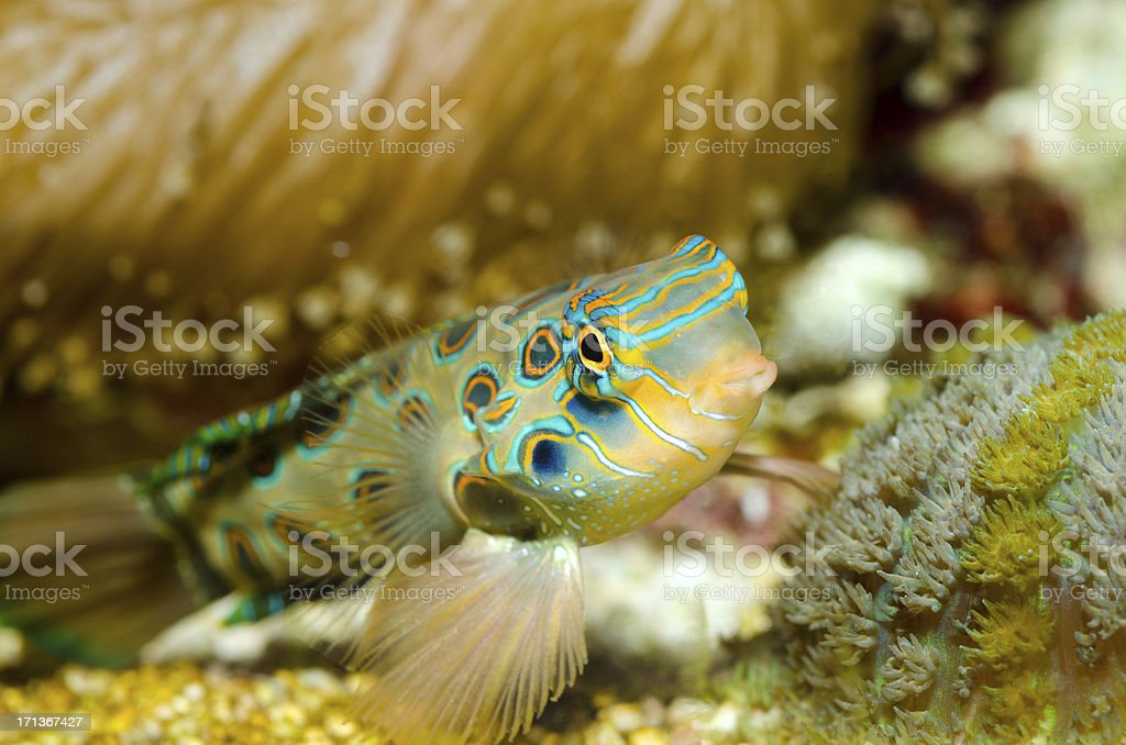 Spotted mandarin fish stock photo