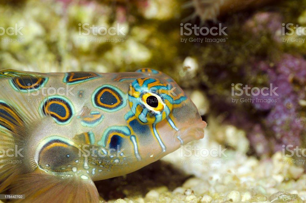 spotted Mandarin fish-Synchiropus picturatus stock photo