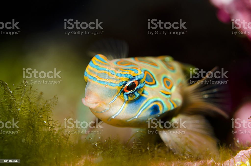 Spotted Mandarin (Synchiropus picturatus) stock photo