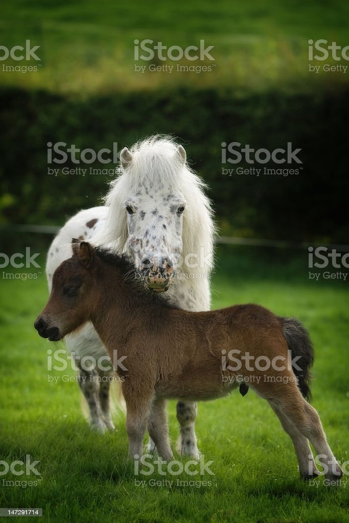 Spotted Minature Horse Mom and baby royalty-free stock photo