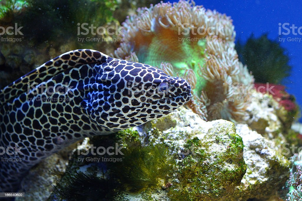 spotted moray royalty-free stock photo