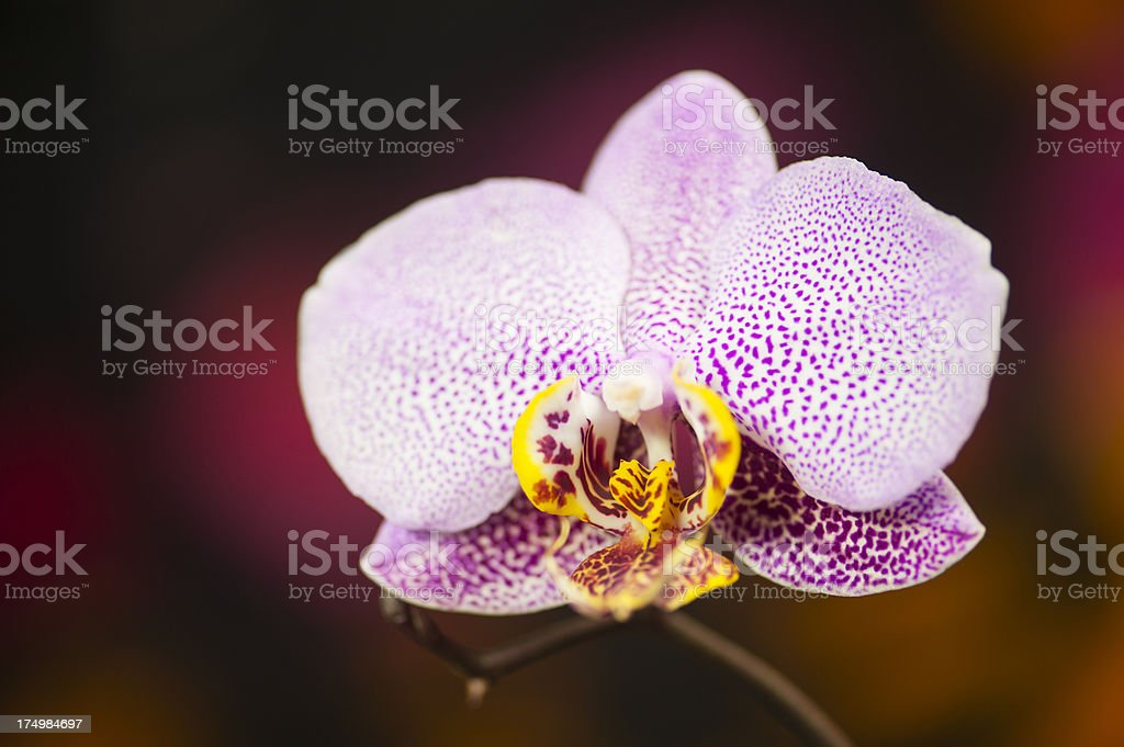 Spotted Moth Orchid royalty-free stock photo