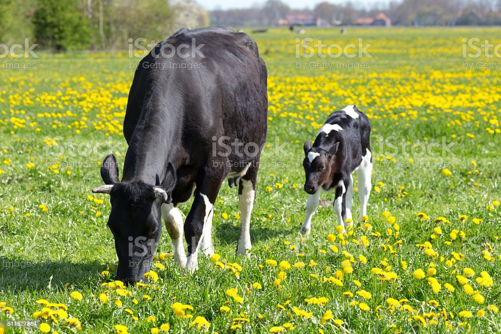 Spotted mother cow and calf in meadow with yellow dandelions stock photo