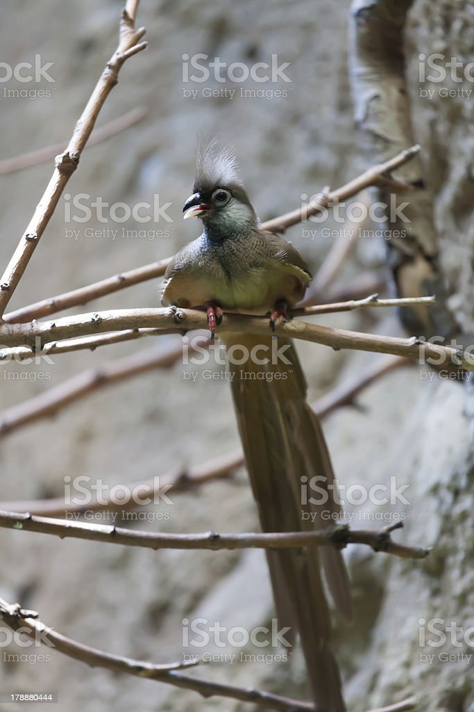 Mousebird manchado (Colius striatus) stock photo