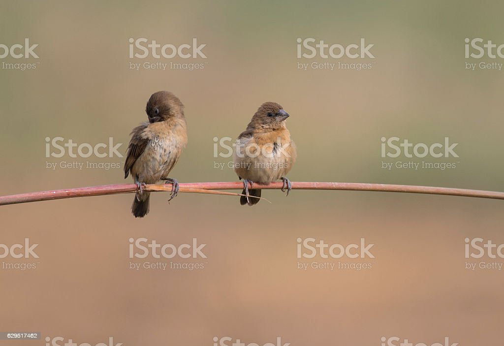Spotted munia on branch stock photo