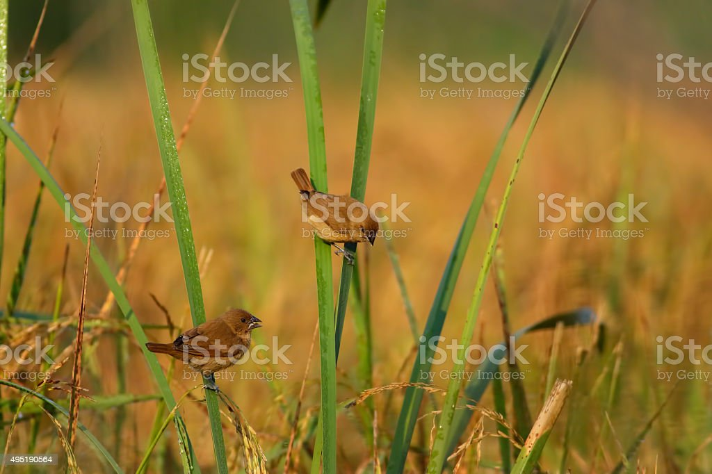 Spotted munia stock photo