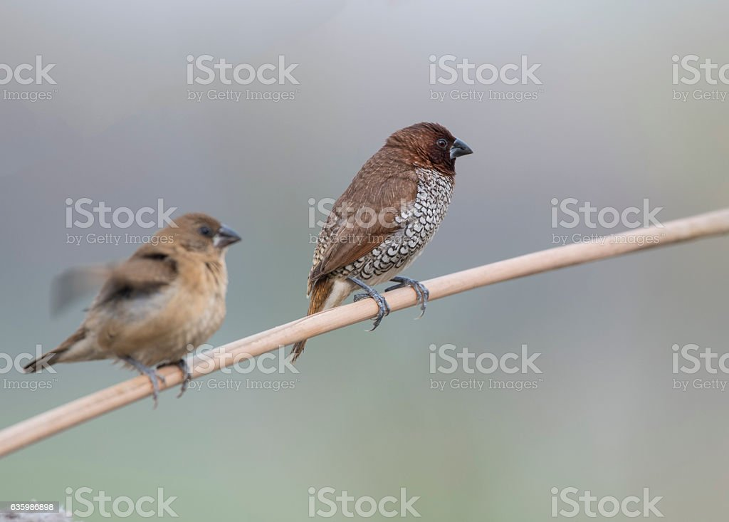 Spotted Munia & Scaly Breasted Munia stock photo