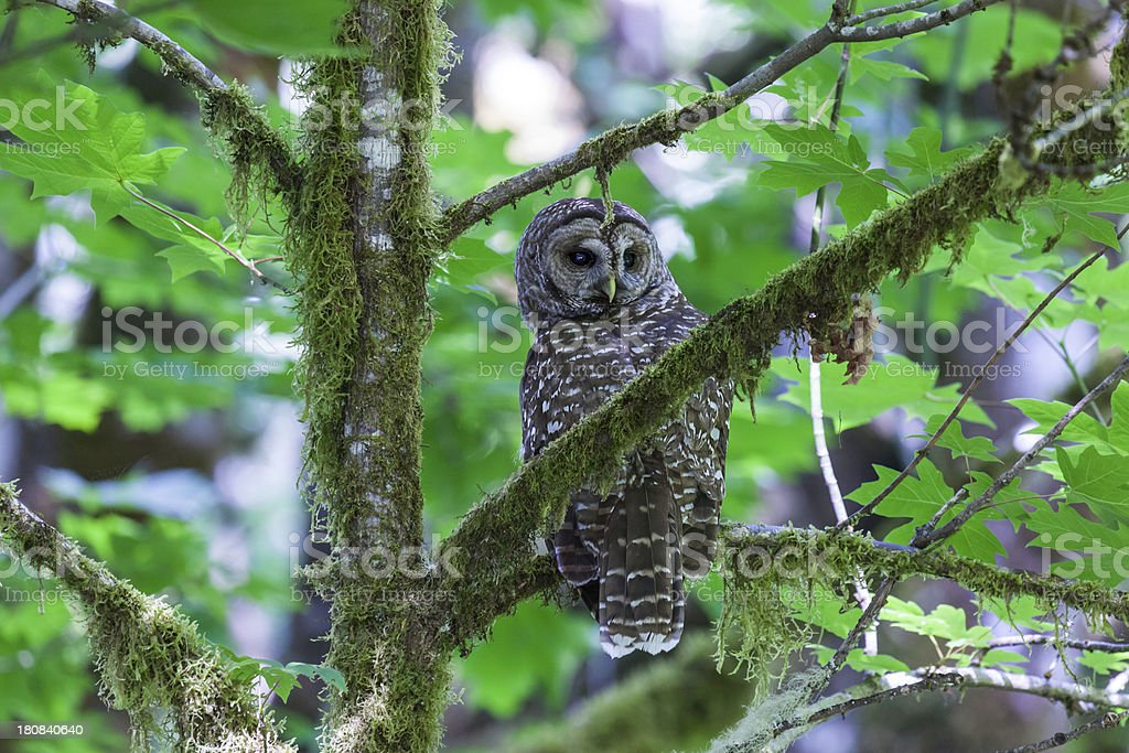Spotted Owl - Strix occidentalis stock photo