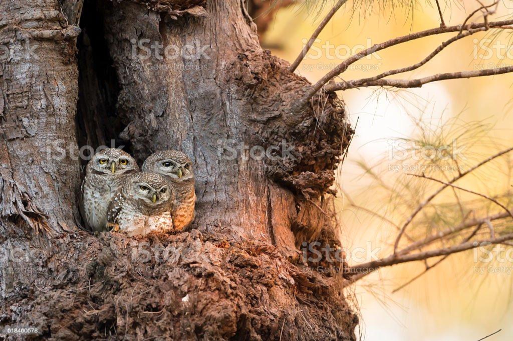 Spotted owlet family (Athene brama) at nest stock photo