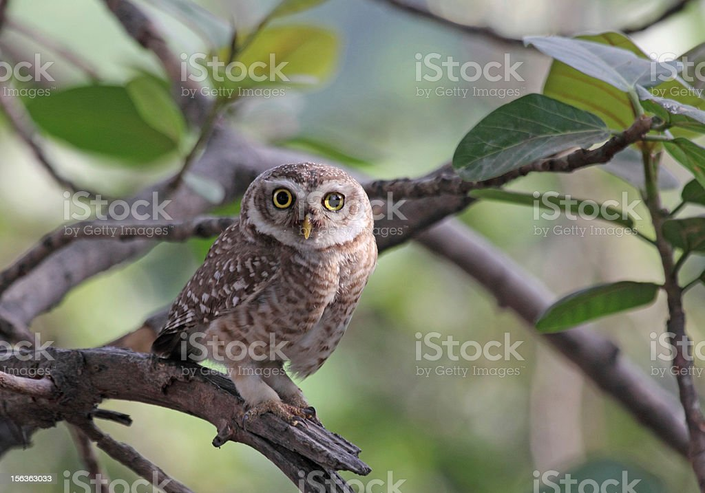 Spotted Owlet royalty-free stock photo