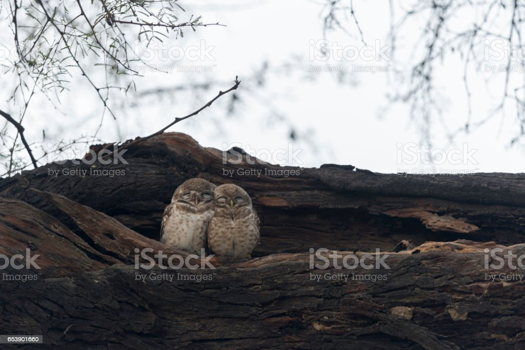 Spotted Owlet stock photo