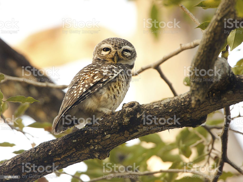Spotted Owlet - Thailand royalty-free stock photo